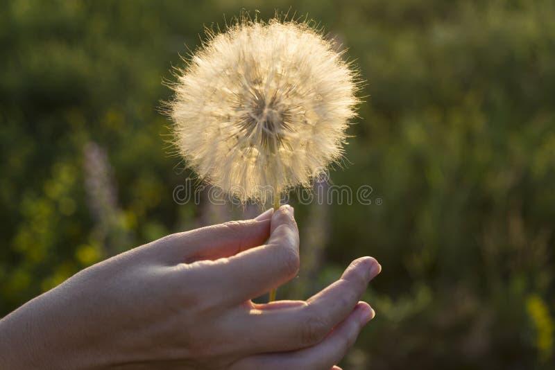 Flor blanca grande del diente de león en una mano femenina fotos de archivo