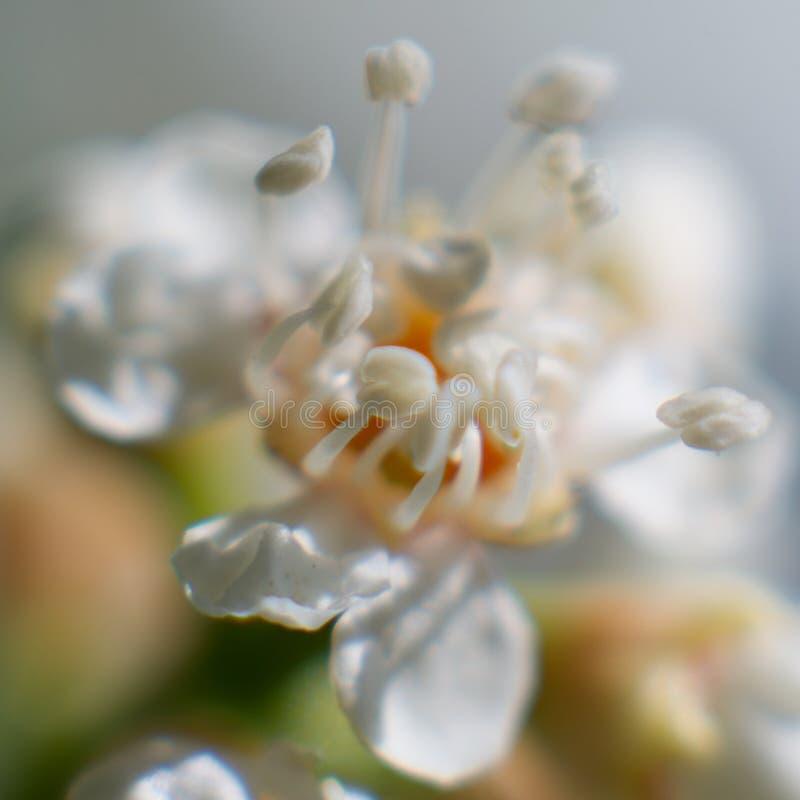 Flor blanca hermosa con el corazón anaranjado imagenes de archivo