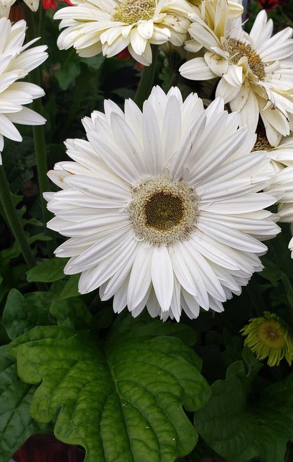 Flor blanca hermosa con los defectos pero el that& x27 de un par; s qu? lo hace hermoso foto de archivo