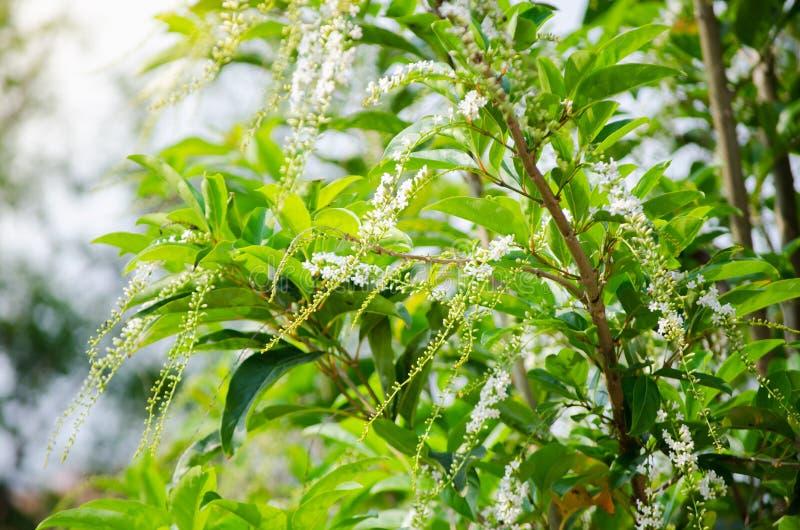 Flor blanca hermosa de Citharexylum Spinosum en sus ramas en una estación de primavera en un jardín botánico fotografía de archivo