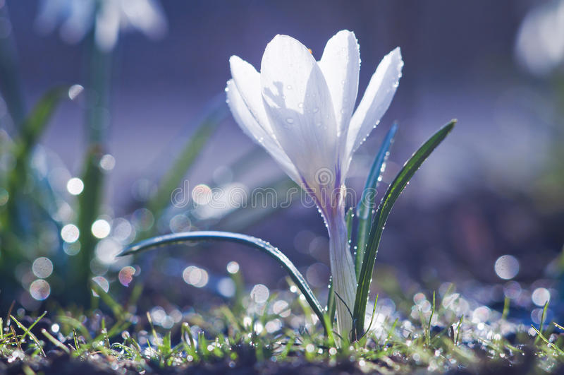 Flor blanca hermosa del azafrán en descensos del agua en un sprin soleado imagen de archivo