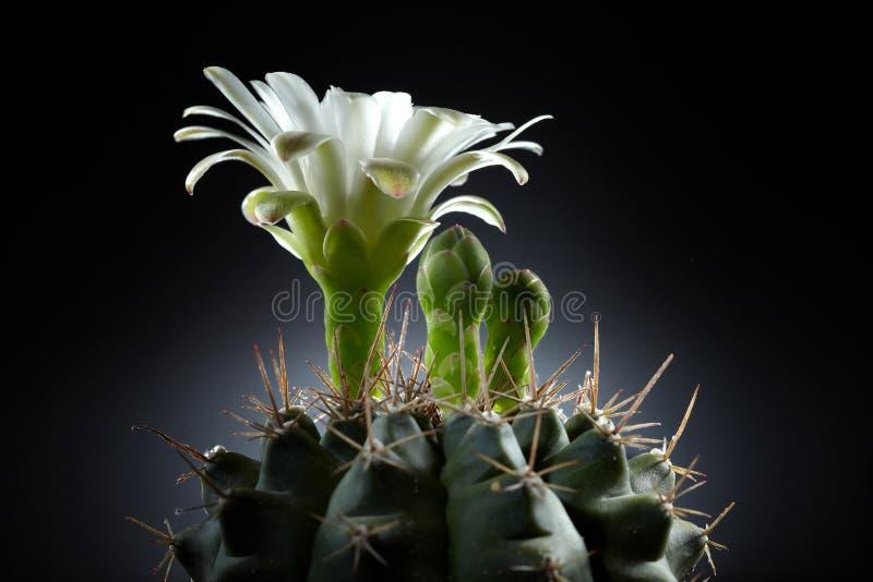 Flor blanca hermosa del cacto fotos de archivo