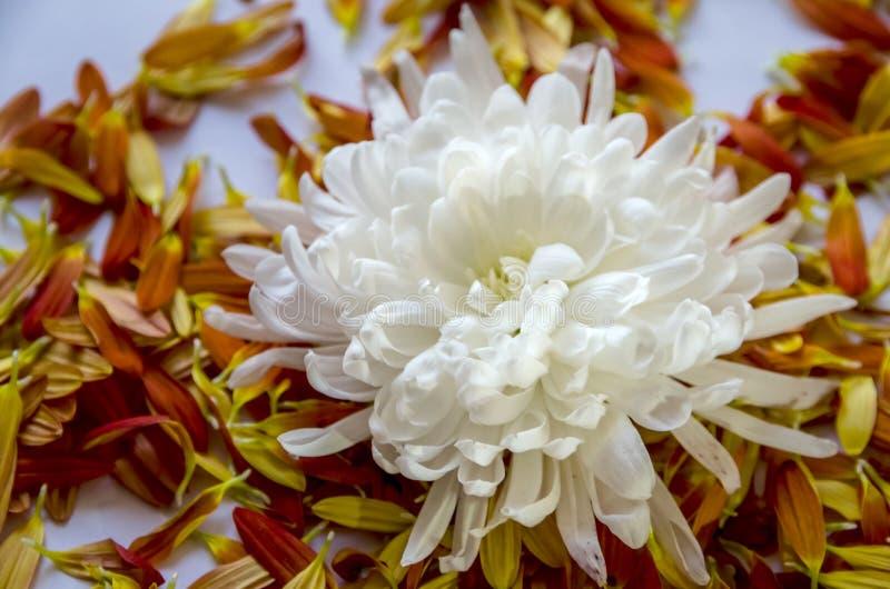 Flor blanca hermosa en el fondo de pétalos fotografía de archivo