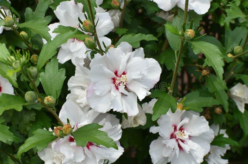 Flor blanca Hibiskus Contra la perspectiva de las hojas verdes imágenes de archivo libres de regalías