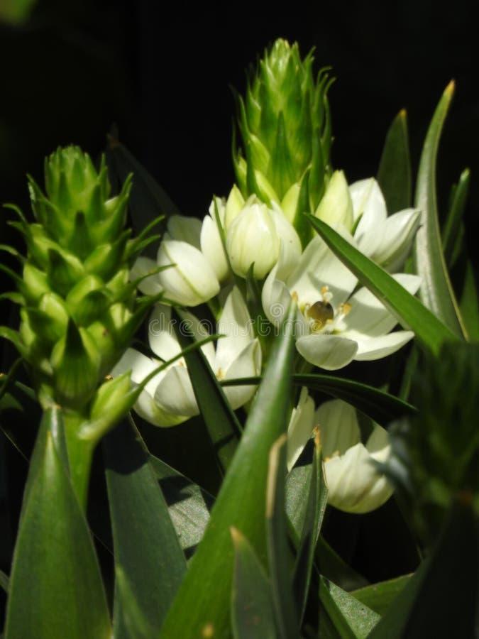 Flor blanca muy bonita con un fondo negro fotografía de archivo libre de regalías