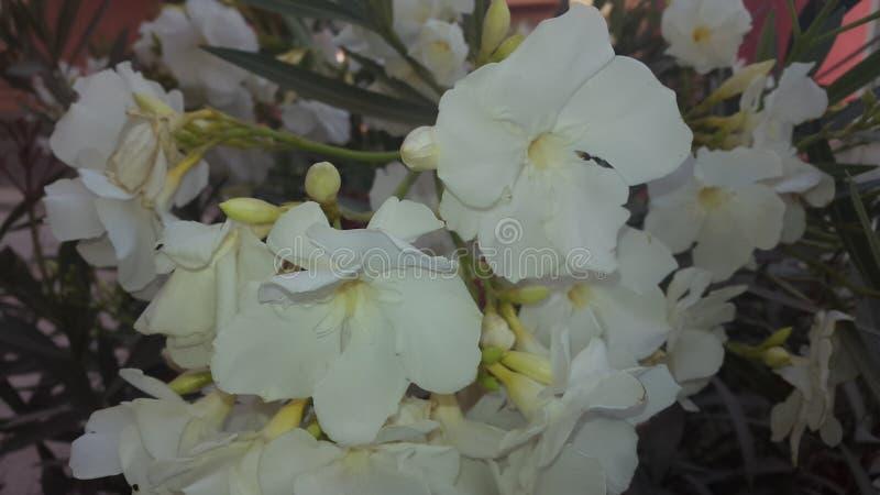 Flor blanca natural imagenes de archivo