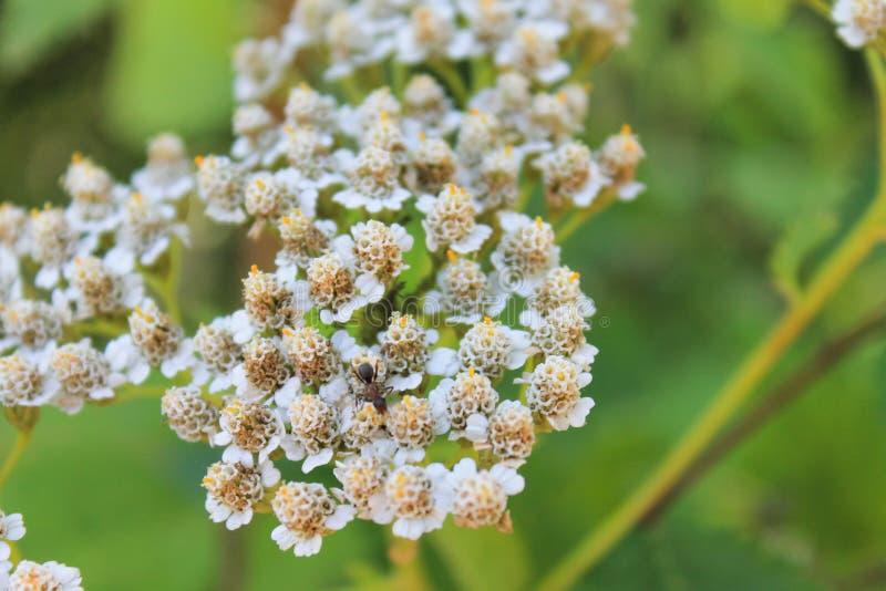 Flor blanca, pequeña hormiga, hierba verde foto de archivo