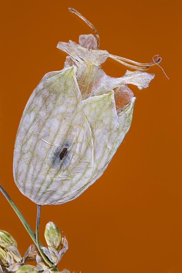Flor blanca presionada secada foto de archivo libre de regalías
