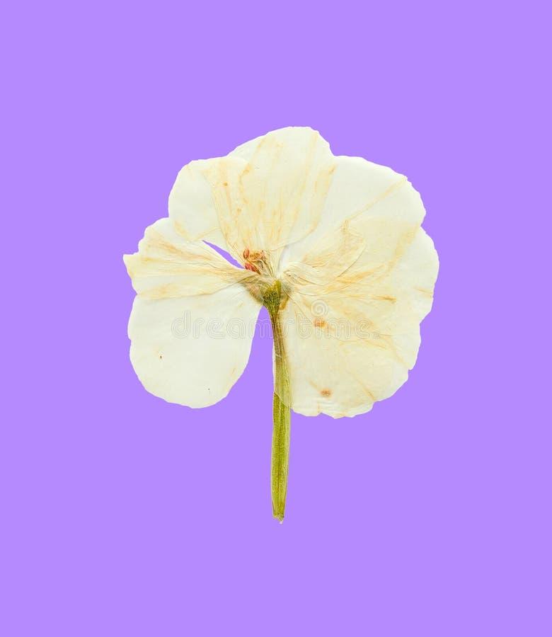 Flor blanca presionada y secada del geranio en fondo azul fotografía de archivo