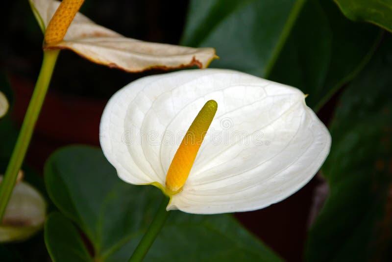 Flor blanca pura del Anthurium con la espádice amarilla fotografía de archivo