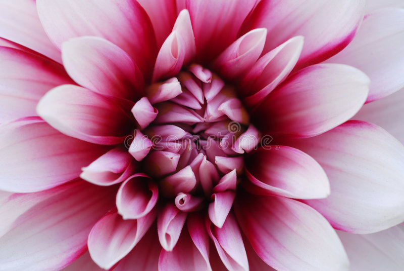 Flor blanca rosada de la dalia imagen de archivo libre de regalías
