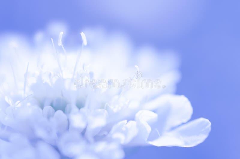 Flor blanca soñadora en fondo azul fotos de archivo libres de regalías