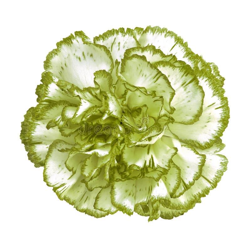 Flor blanca verde del clavel del espárrago aislada en el fondo blanco Primer fotografía de archivo libre de regalías