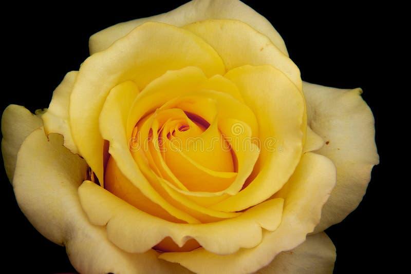 Flor blanca y amarilla en el fondo negro fotografía de archivo
