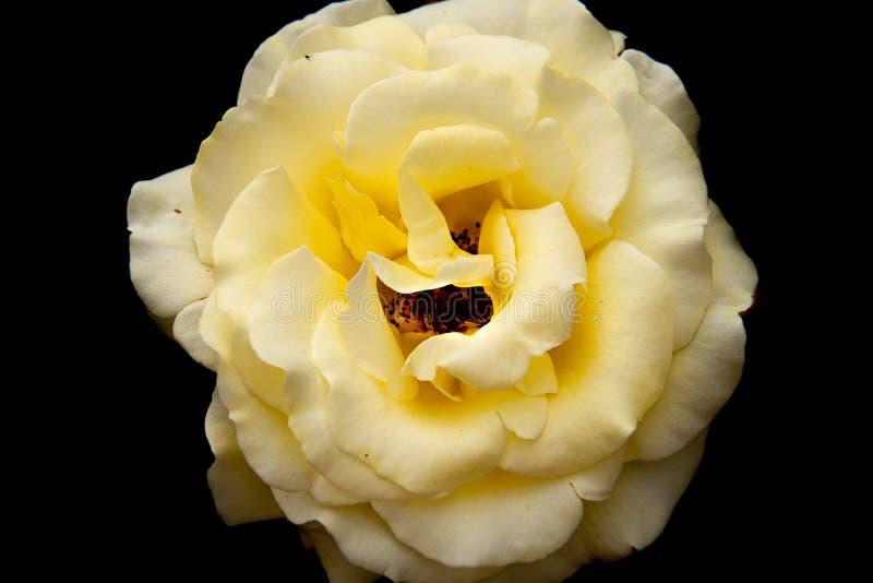 Flor blanca y amarilla en el fondo negro fotografía de archivo libre de regalías