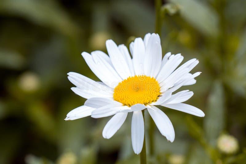Flor blanca y amarilla en fotografía tirada macra foto de archivo libre de regalías