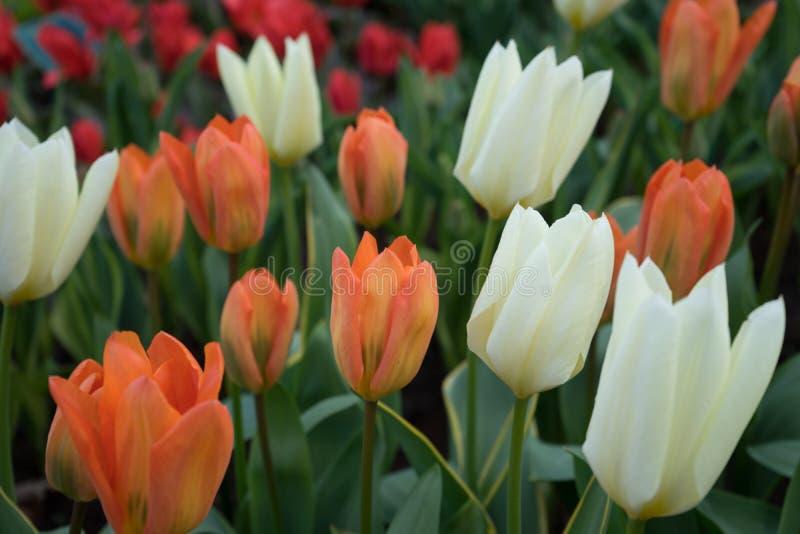 Flor blanca y anaranjada del tulipán con un fondo borroso en Lisse fotos de archivo