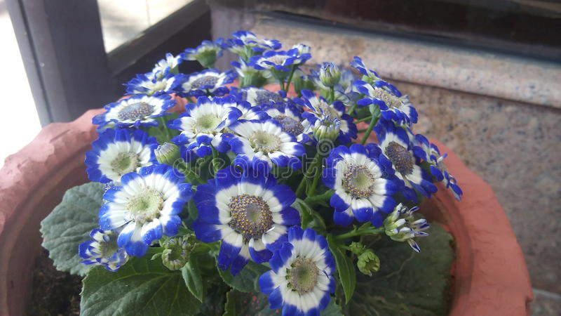 Flor blanca y azul imagen de archivo