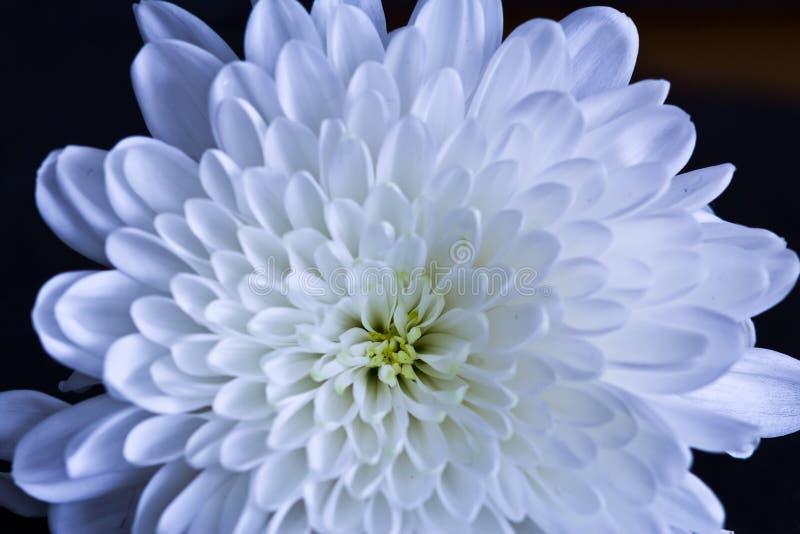 Flor blanca y roja fotografía de archivo libre de regalías