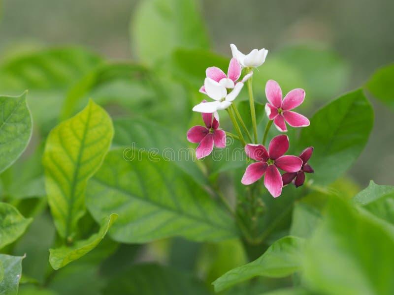 Flor blanca y roja en fondo borroso de la naturaleza fotografía de archivo libre de regalías