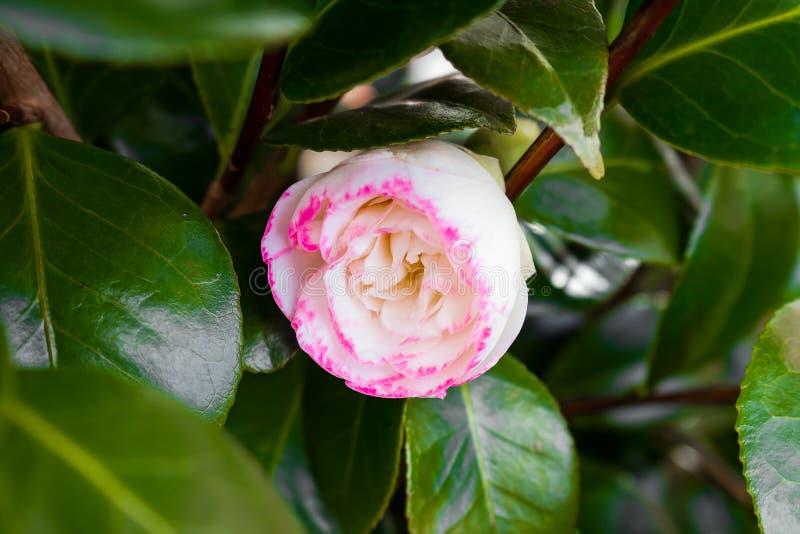 Flor blanca y rosada del japonica japonés de la camelia, de la camelia imagenes de archivo