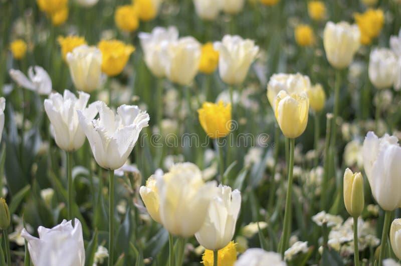 Flor blanco de la flor del tulipán foto de archivo