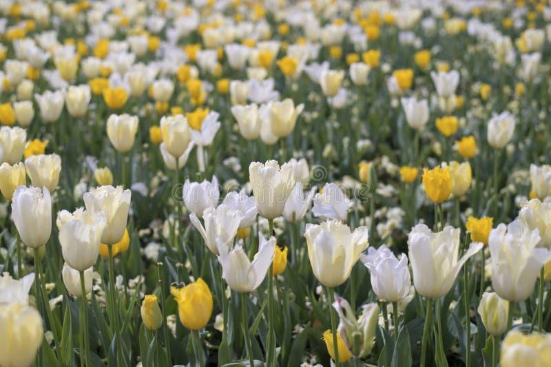 Flor blanco de la flor del tulipán imagen de archivo