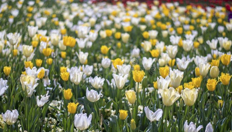 Flor blanco de la flor del tulipán imagenes de archivo
