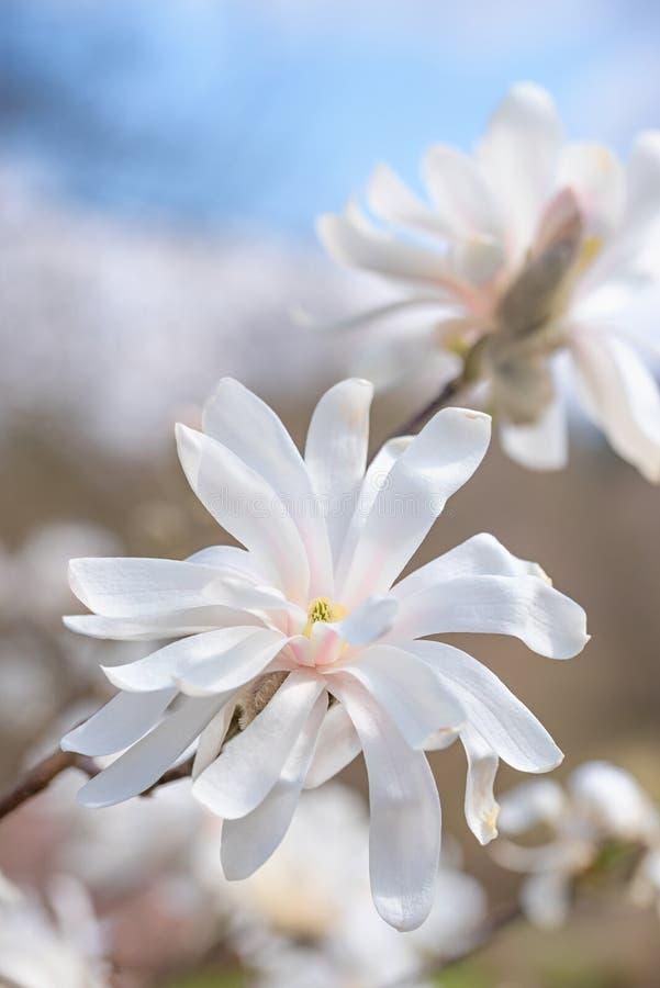 Flor blanco de la magnolia en la primavera imagen de archivo libre de regalías