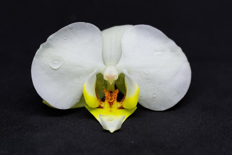 Flor blanco de la orquídea en fondo negro imagen de archivo libre de regalías