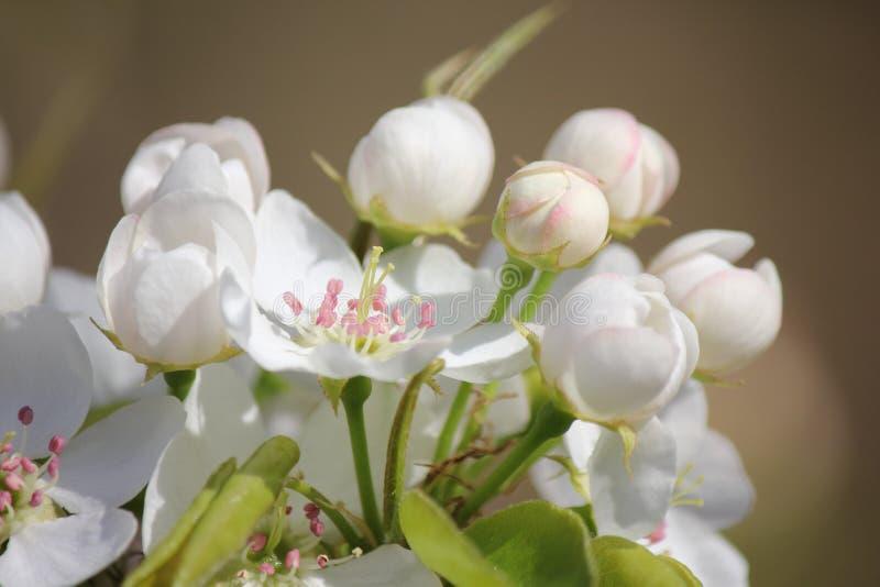 Flor blanco de la pera fotografía de archivo libre de regalías