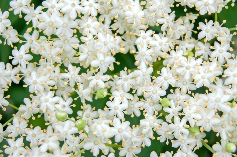 Flor blanco del arbusto del nigra del Sambucus del elderflower fotos de archivo libres de regalías