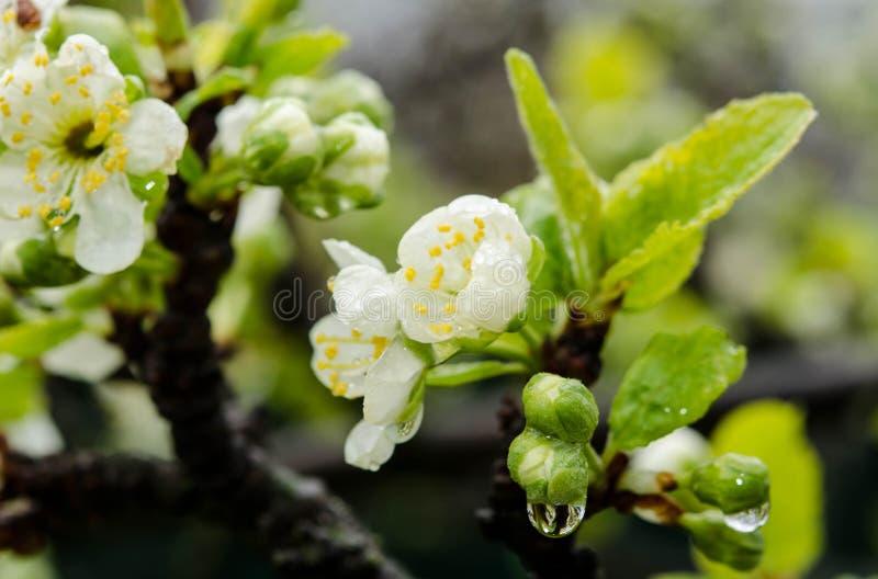 Flor blanco del cerezo en un jardín foto de archivo