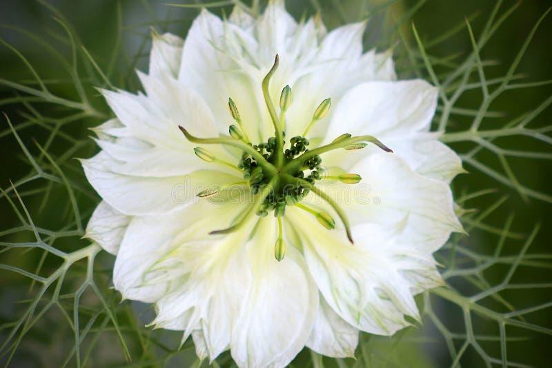 Flor blanco del damascena de Nigella foto de archivo