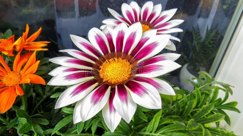 Flor blanco-púrpura hermosa fotos de archivo