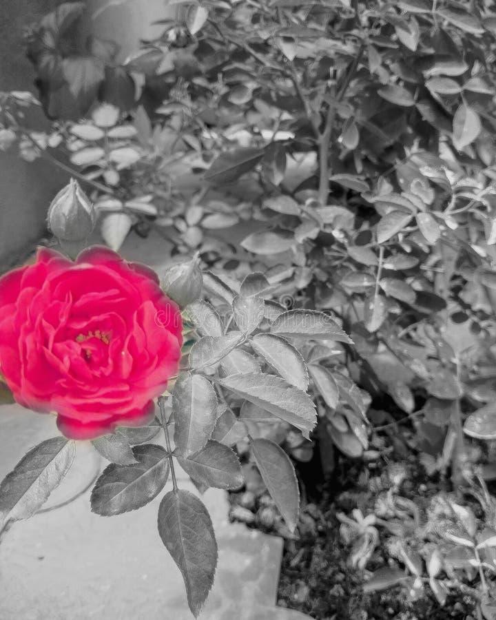 Flor, blanco y negro, imágenes del chapoteo del color, imagen hermosa foto de archivo