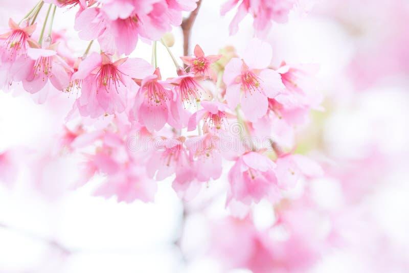 Flor blossomCherry da cereja cor-de-rosa, cereja de florescência japonesa na árvore de Sakura As flores de Sakura são representan imagens de stock