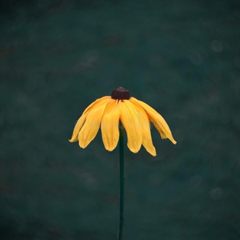 Flor bonita amarela brilhante do rudbecia, coneflower, susan de olhos pretos em um escuro - fim borrado verde do fundo acima fotografia de stock