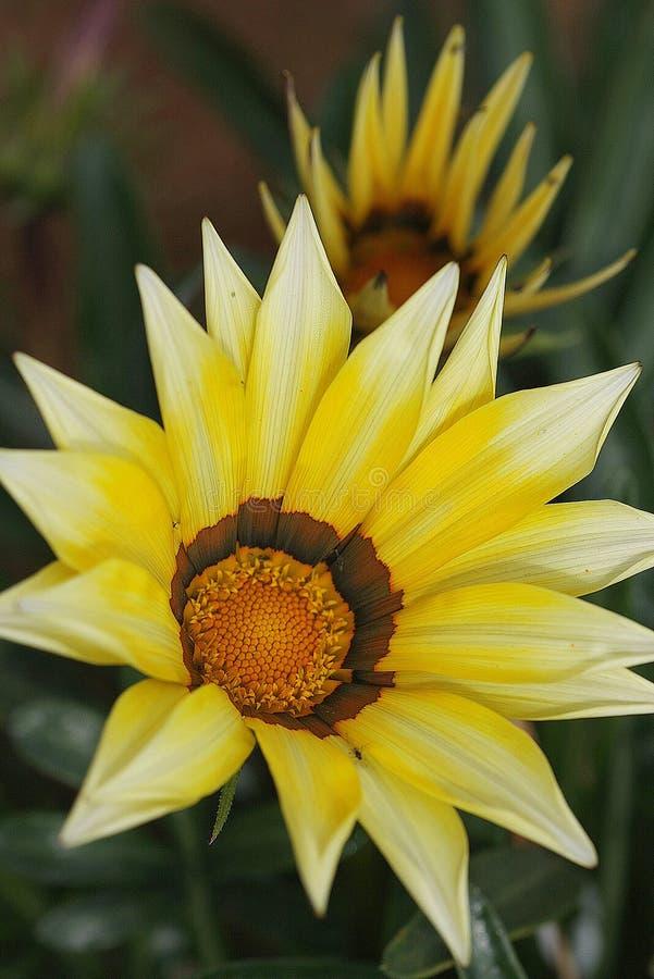 Flor bonita amarela no norte de Tailândia imagens de stock royalty free