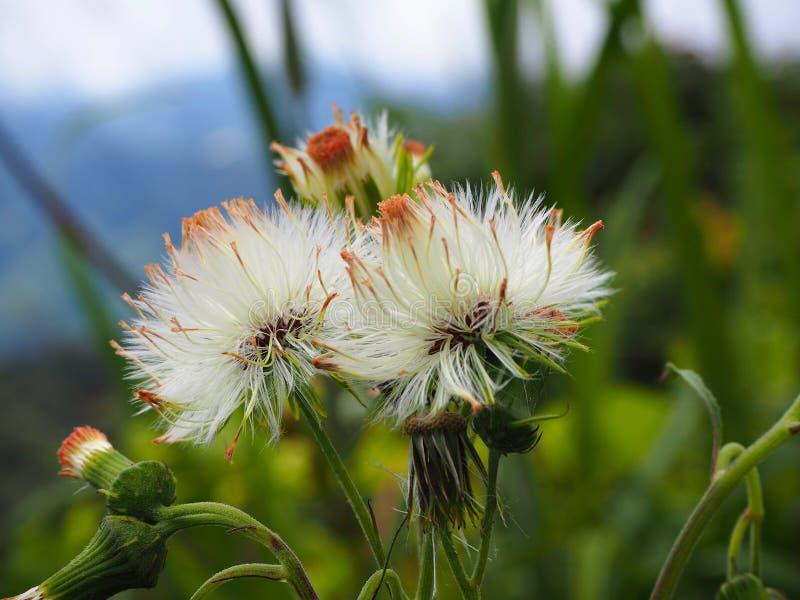 A flor bonita branca na selva de Cameron Highlands encontrou durante uma trilha da selva fotografia de stock