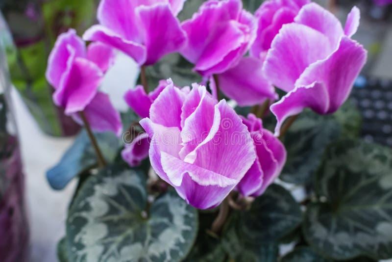 flor bonita cor-de-rosa do cíclame foto de stock