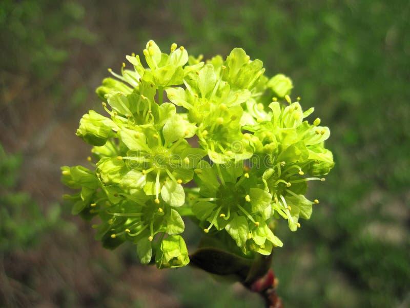 Flor bonita da árvore de bordo, Lituânia imagens de stock royalty free