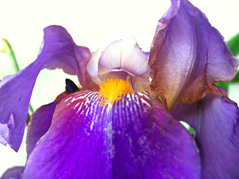 Flor bonita da íris foto de stock