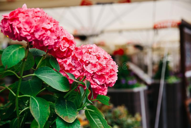 Flor bonita da hortênsia na rua da cidade europeia Cidade velha gdansk foto de stock