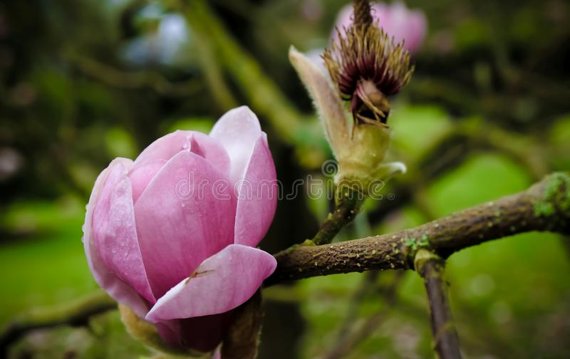 Flor bonita da magnólia no jardim botânico em ireland foto de stock royalty free