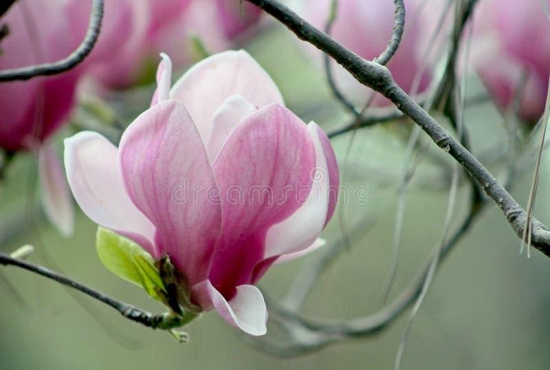 Flor bonita da magn?lia, Lily Magnolia, Violet Magnolia, magn?lia de Yulan imagens de stock royalty free