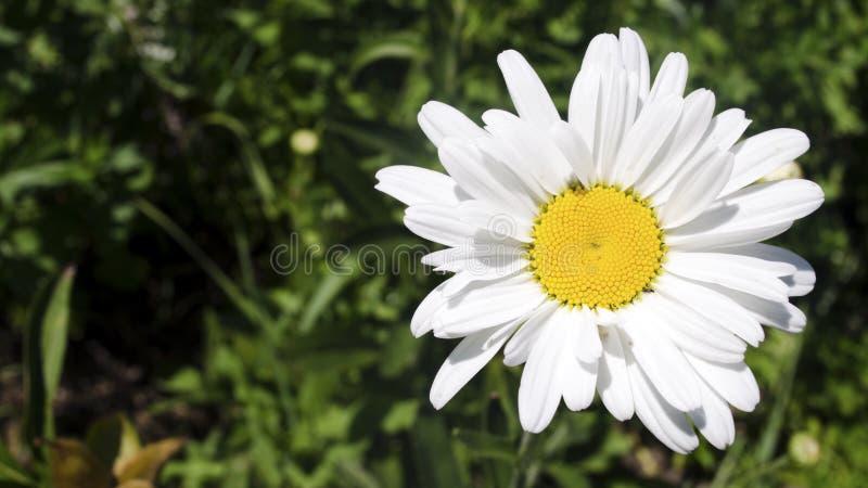 Flor bonita da margarida Fim acima imagens de stock royalty free