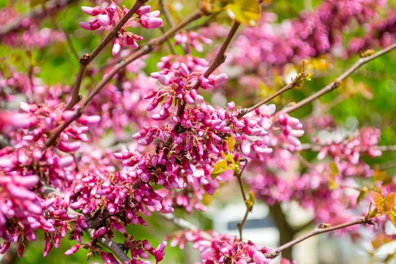 Flor bonita da mola do canadensis do Cercis Um ramo da árvore oriental do redbud com muitas flores cor-de-rosa pequenas contra um foto de stock