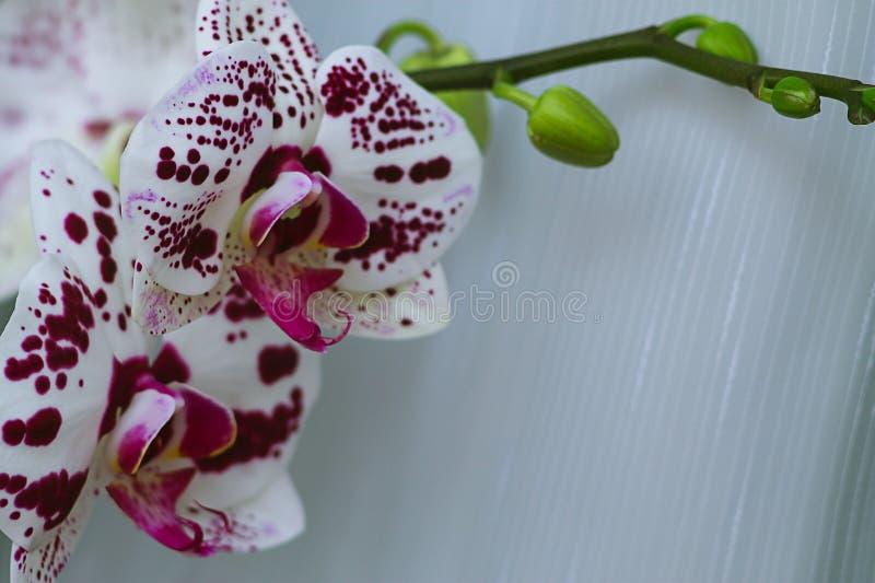 Flor bonita da orquídea em uma janela Flor na casa Decoros imagens de stock