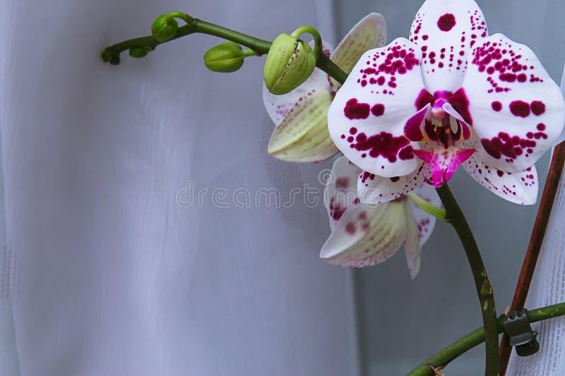 Flor bonita da orquídea em uma janela Flor na casa Decoros foto de stock